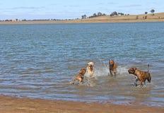 嬉戏在水中的大友好的狗 库存图片