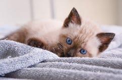 嬉戏地放置畸形的人的喜马拉雅的小猫 库存照片