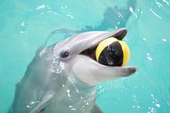 嬉戏球的海豚 免版税库存照片