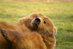 嬉戏的北美灰熊 图库摄影