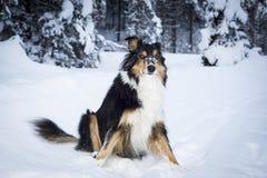 使用在雪的嬉戏的博德牧羊犬多壳的狗 免版税库存照片