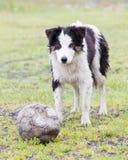 嬉戏的博德牧羊犬 图库摄影