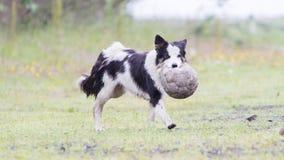 嬉戏的博德牧羊犬 库存照片