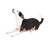 嬉戏的奇瓦瓦狗和狗被混合的品种狗放置 库存图片