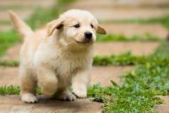 嬉戏的小狗运行中 免版税库存图片