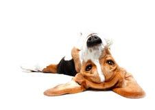 嬉戏的小猎犬 免版税库存图片