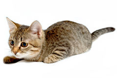 嬉戏的小猫。 免版税库存图片