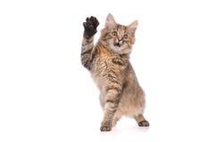 嬉戏的小猫猫 免版税库存照片