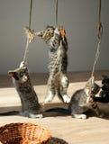 嬉戏的小猫队  免版税图库摄影
