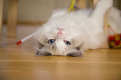嬉戏的小猫 图库摄影