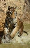嬉戏的少年飞溅的孟加拉老虎 免版税库存图片