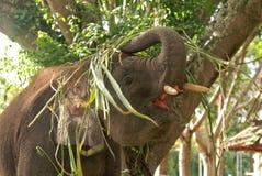 嬉戏的年轻矮小大象 免版税库存图片