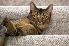 嬉戏的幼小猫 免版税库存图片