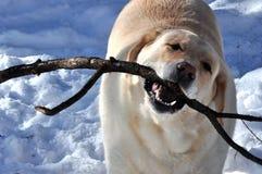嬉戏的拉布拉多猎犬 免版税库存图片