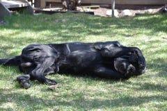 嬉戏的拉布拉多猎犬 库存图片