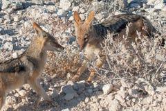 嬉戏的支持黑的狐狼,埃托沙国家公园,纳米比亚 图库摄影