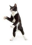 嬉戏的无尾礼服猫常设爪子 免版税库存照片