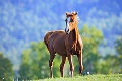 嬉戏的栗子马一岁小跑在夏天草甸 免版税图库摄影