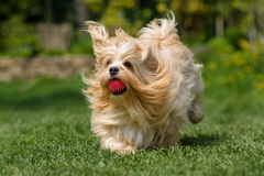 嬉戏的橙色havanese狗跑与在草的一个球 免版税图库摄影