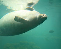 嬉戏的海牛游泳 库存图片