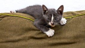 嬉戏的灰色小猫 库存图片