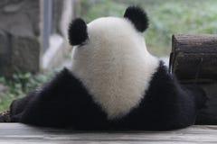 嬉戏的熊猫Cub在重庆 库存照片