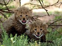 嬉戏的猎豹崽 免版税库存图片