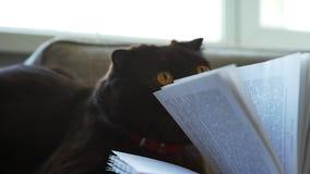 嬉戏的猫和书 与书页的苏格兰垂耳猫戏剧 股票录像