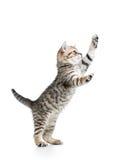 嬉戏的猫小猫站立 免版税库存照片