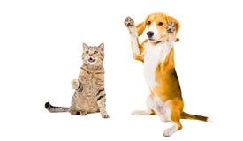 嬉戏的猫苏格兰平直和小猎犬狗 库存图片