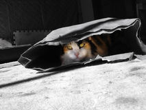 嬉戏的猫 免版税库存照片