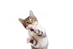 嬉戏的猫 免版税库存图片