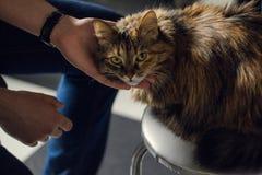 嬉戏的神色猫 免版税库存图片