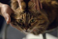 嬉戏的神色猫 图库摄影