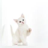 嬉戏的空白小猫 免版税图库摄影