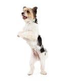 嬉戏的约克夏狗和ShihTzu杂种 免版税库存图片