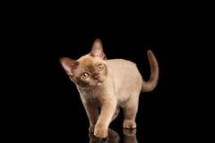 嬉戏的缅甸小猫隔绝了黑走和好奇查寻 免版税库存照片
