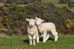 嬉戏的羊羔 免版税库存照片