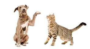 嬉戏的美洲叭喇小狗和好奇猫苏格兰平直 免版税库存图片