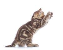 嬉戏的苏格兰平直的在白色背景隔绝的小猫侧视图 免版税库存照片