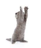 嬉戏的苏格兰shorthair小猫 背景查出的白色 库存图片