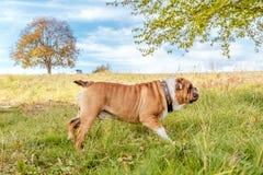 嬉戏的英国牛头犬 库存照片