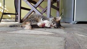 嬉戏的逗人喜爱的小小猫 影视素材