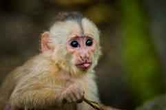 嬉戏的逗人喜爱的小的猴子意想不到的特写镜头照片从亚马逊密林厄瓜多尔的 库存图片
