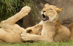 嬉戏的雌狮 库存图片