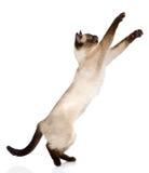 嬉戏的滑稽的小猫 背景查出的白色 免版税库存照片