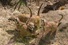 嬉戏的meerkats 免版税库存照片