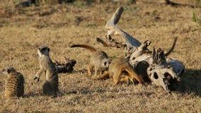 嬉戏的meerkats 股票录像