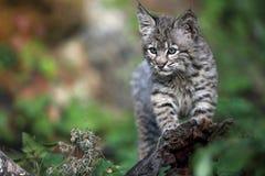 嬉戏美洲野猫的小猫 免版税库存照片
