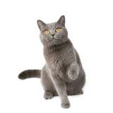嬉戏英国的猫 免版税图库摄影